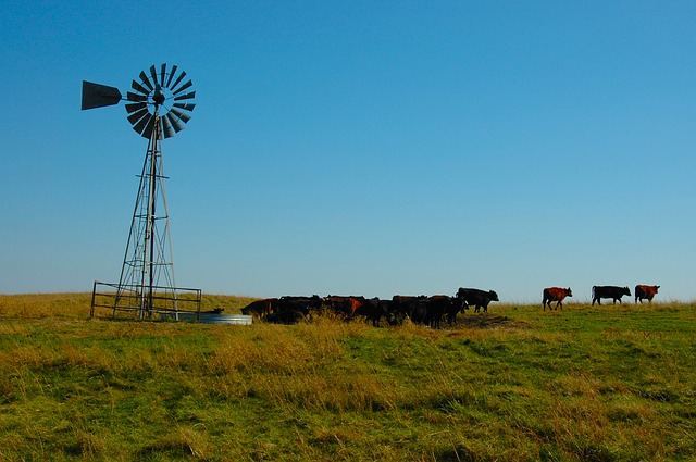 covid-19_cattle_farm_usa_cow_prairie